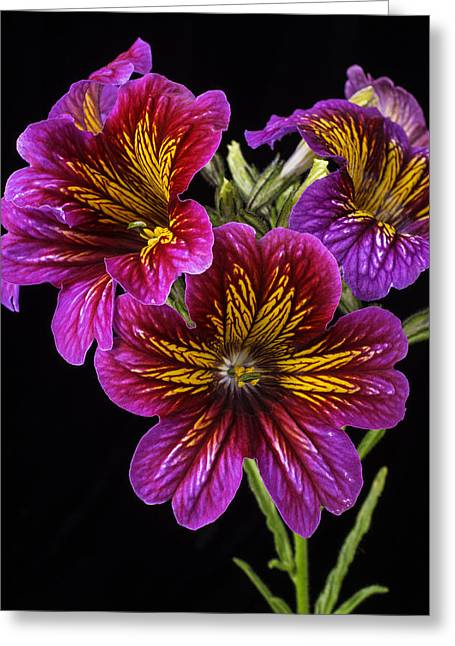 Painted Tongue Flowers Greeting Card by Garry Gay