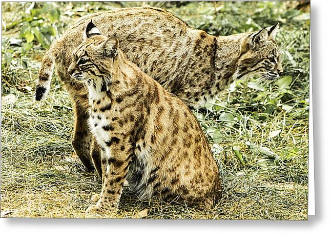 Bobcats Photographs Greeting Cards - Pair of Bobcats Greeting Card by Julie Wooden