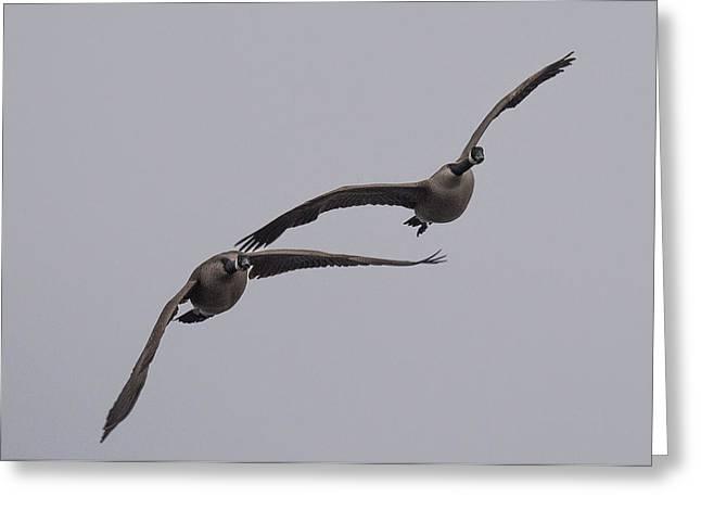 Pair Of Geese Greeting Card by Paul Freidlund