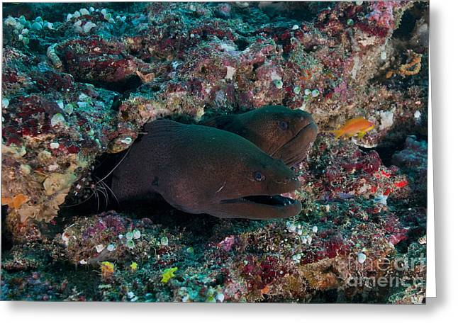 Decapoda Greeting Cards - Pair Of Giant Moray Eels In Hole Greeting Card by Mathieu Meur