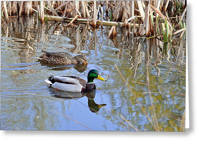 Pair Of Mallard Ducks Greeting Card by Rod Johnson