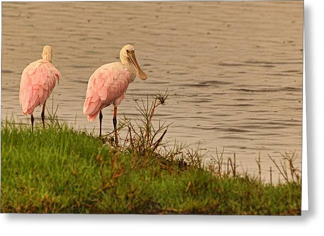 Wildlife Refuge. Greeting Cards - Pair of Roseate Spoonbills Greeting Card by Theo O