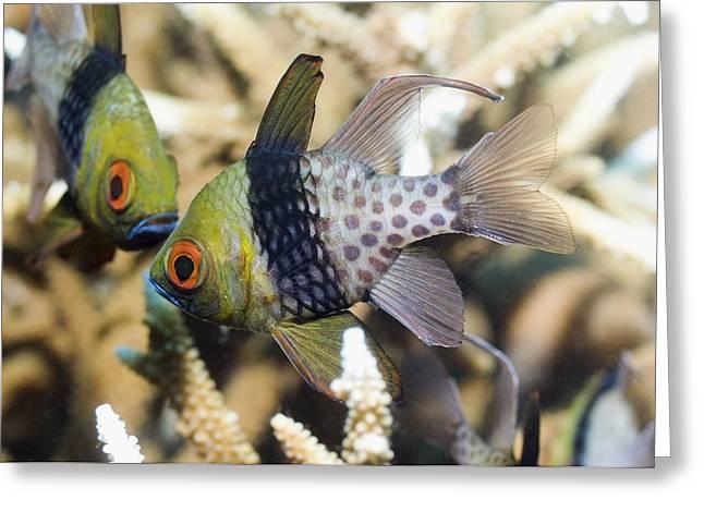 Indonesian Wildlife Greeting Cards - Pajama Cardinalfish Greeting Card by Georgette Douwma