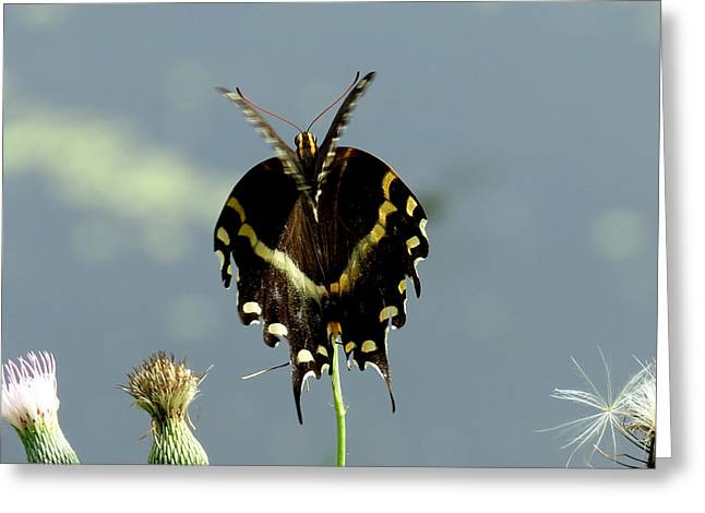 Flying Animal Greeting Cards - Palamedes Swallowtail 10 Greeting Card by J M Farris Photography