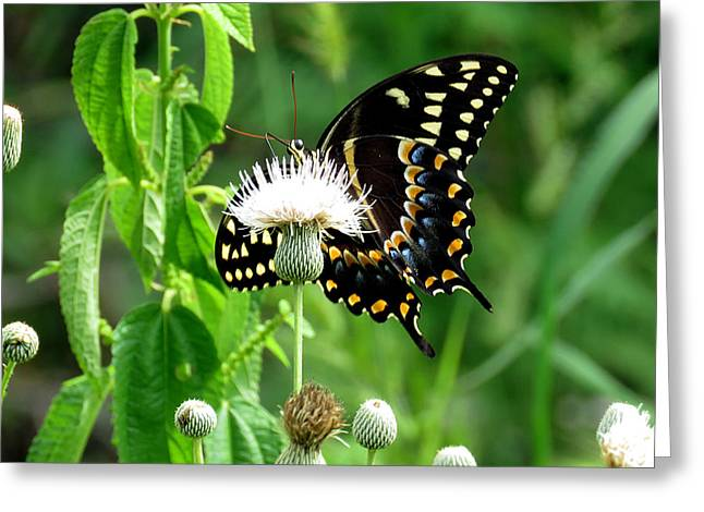 Flying Animal Greeting Cards - Palamedes Swallowtail 12 Greeting Card by J M Farris Photography