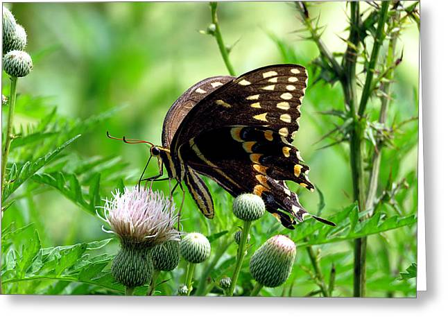 Flying Animal Greeting Cards - Palamedes Swallowtail 6 Greeting Card by J M Farris Photography