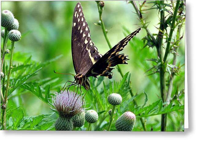 Flying Animal Greeting Cards - Palamedes Swallowtail 7 Greeting Card by J M Farris Photography