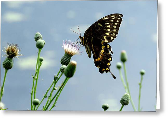 Flying Animal Greeting Cards - Palamedes Swallowtail 8 Greeting Card by J M Farris Photography