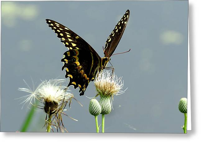 Flying Animal Greeting Cards - Palamedes Swallowtail 9 Greeting Card by J M Farris Photography