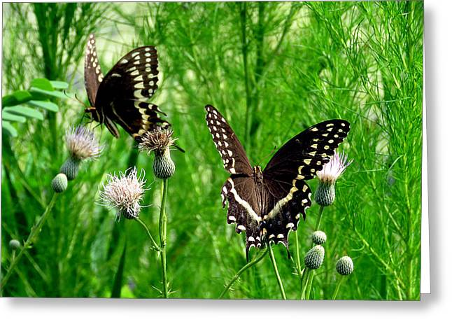 Flying Animal Greeting Cards - Palamedes Swallowtails 1 Greeting Card by J M Farris Photography