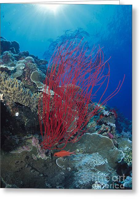 Palau, Underwater Scene Greeting Card by Dave Fleetham - Printscapes