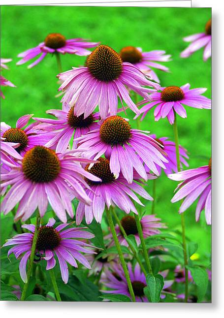 Pale Purple Coneflowers Greeting Card by Marty Koch