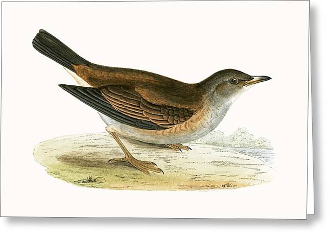 Pale Thrush Greeting Card by English School