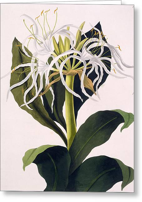 White And Green Greeting Cards - Pancratium Speciosum Greeting Card by Mrs Edward Bury