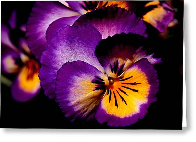 Sunlit Greeting Cards - Pansies Greeting Card by Rona Black