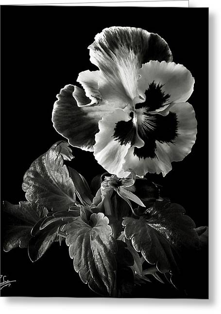 Flower Photos Greeting Cards - Pansy in Black and White Greeting Card by Endre Balogh