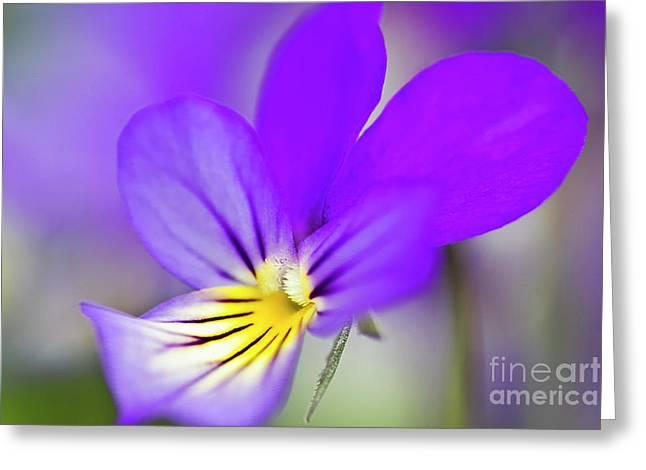 Wild Pansy Greeting Cards - Pansy violet Greeting Card by Heiko Koehrer-Wagner