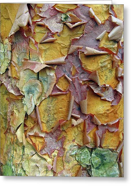 Colorful Trees Digital Greeting Cards - Paperbark Maple Tree Greeting Card by Jessica Jenney