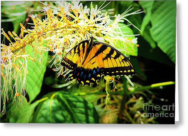 Common Tiger Butterfly Greeting Cards - Papilio Glaucus Greeting Card by Patti Whitten