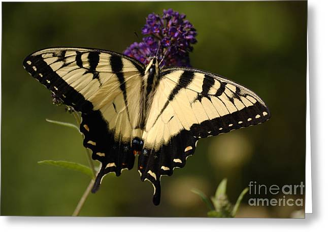Randolph County Greeting Cards - Papilio Yellow Greeting Card by Randy Bodkins