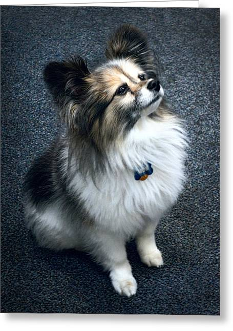 Papillon Dog Greeting Card by Daniel Hagerman