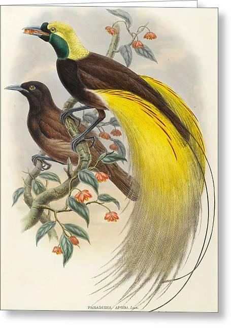Paradisea Apoda Greeting Card by William Hart and John Gould