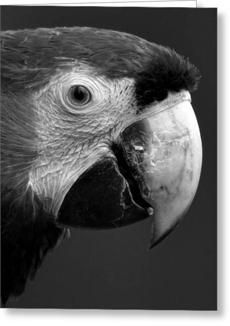 Talking Greeting Cards - Parrot in Black and White Greeting Card by Ben Kerckx