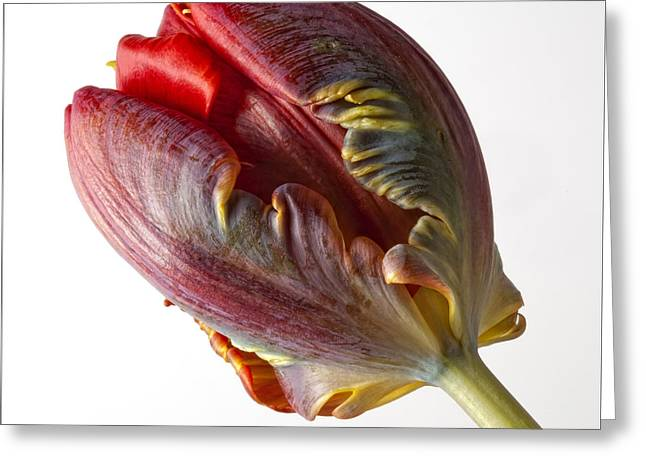 Parrot Tulip 1 Greeting Card by Robert Ullmann