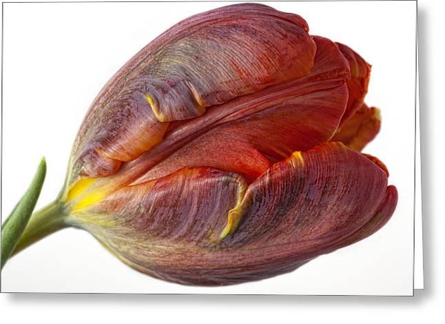 Parrot Tulip 2 Greeting Card by Robert Ullmann