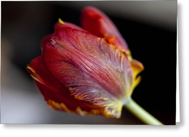 Parrot Tulips 13 Greeting Card by Robert Ullmann
