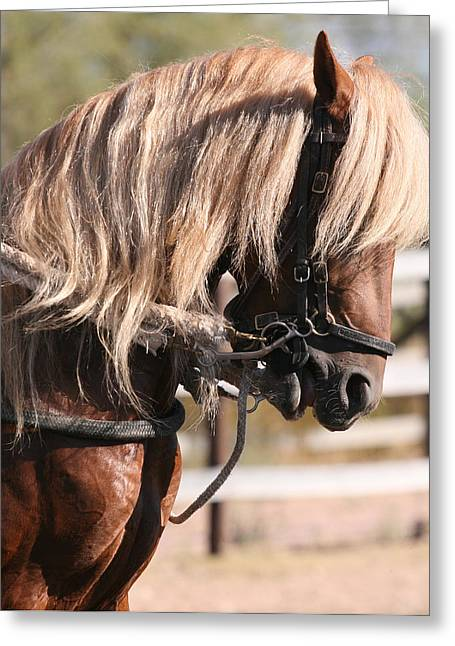 Horse Pyrography Greeting Cards - Paso Fino Stallion Greeting Card by Wendi Matson