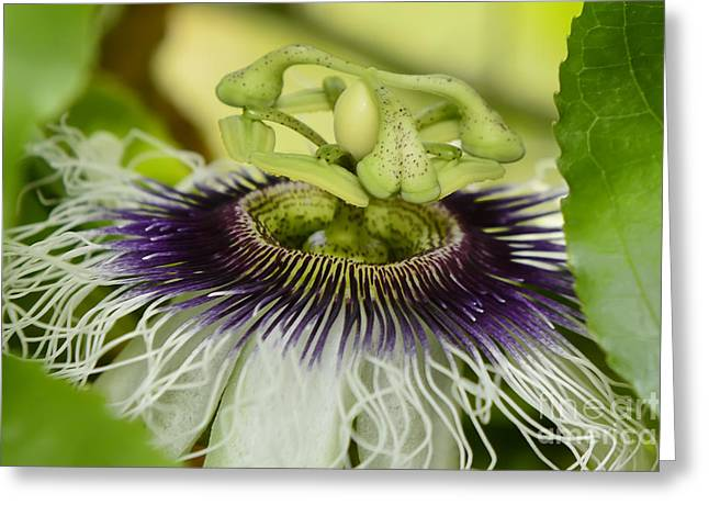 Passiflora Edulis Frederick Flower  Greeting Card by Olga Hamilton