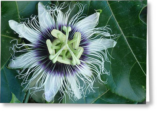 Passionflower Greeting Cards - Passion Flower 2 - Passiflora edulis var. flavicarpa Greeting Card by Elena Schaelike