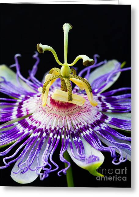 Passion Fruit Greeting Cards - Passion Flower Greeting Card by Dawna  Moore Photography