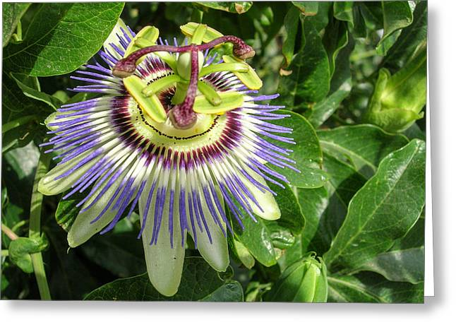 Passiflora Greeting Cards - Passion Flower Greeting Card by Laszlo Prising