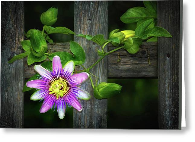 Passionflower Greeting Cards - Passion Flower on the Fence Greeting Card by Carolyn Derstine