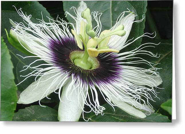 Passionflower Greeting Cards - Passion Flower  - Passiflora edulis var. flavicarpa Greeting Card by Elena Schaelike