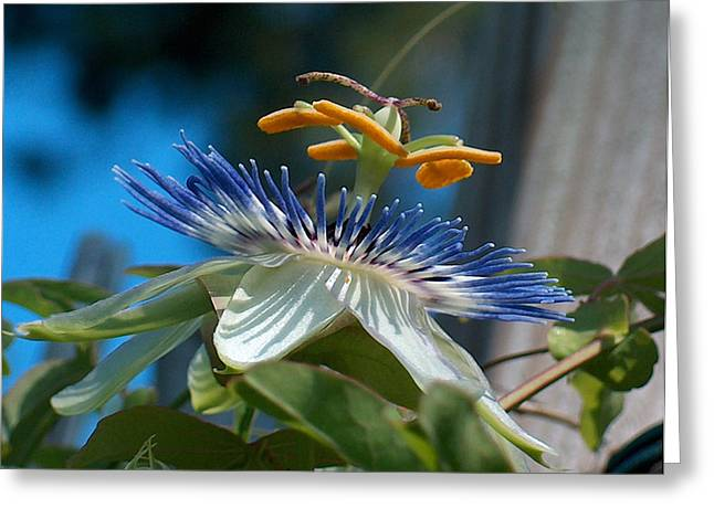 Passionflower Greeting Cards - PassionFlower Greeting Card by Racquel Morgan