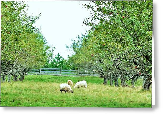 Country Woolies Greeting Cards - Pasture Renegades Greeting Card by Reb Frost