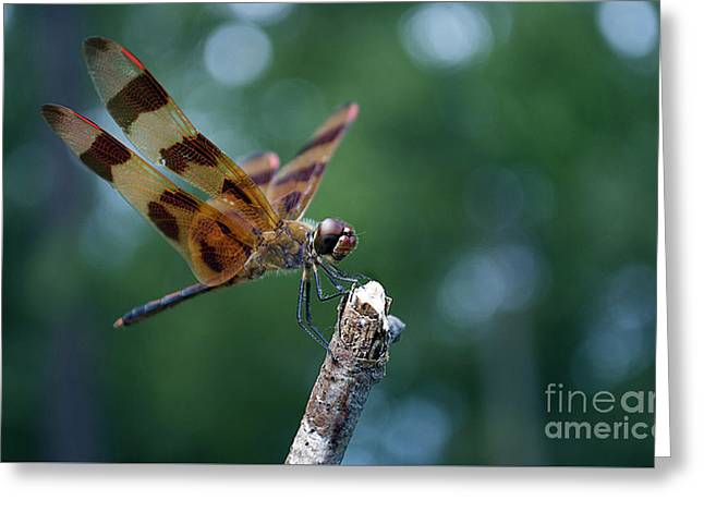 Spider And Fly Greeting Cards - Dragon Brown Black N Glass Greeting Card by Skip Willits