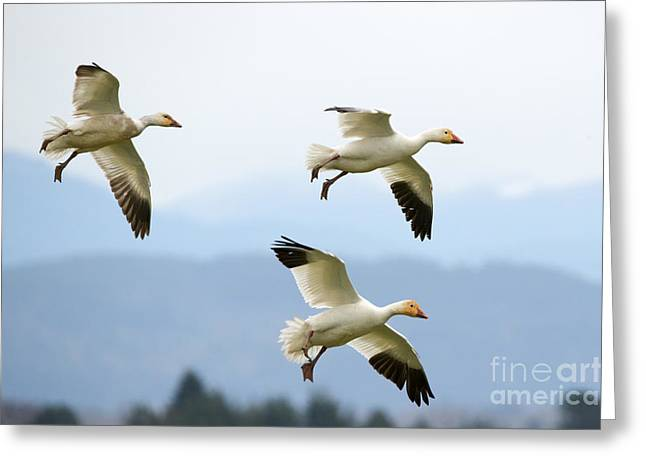 Skagit Valley Greeting Cards - Pattern of Three Greeting Card by Mike Dawson