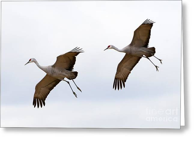 Sandhill Crane Greeting Cards - Pattern of Two Greeting Card by Mike Dawson