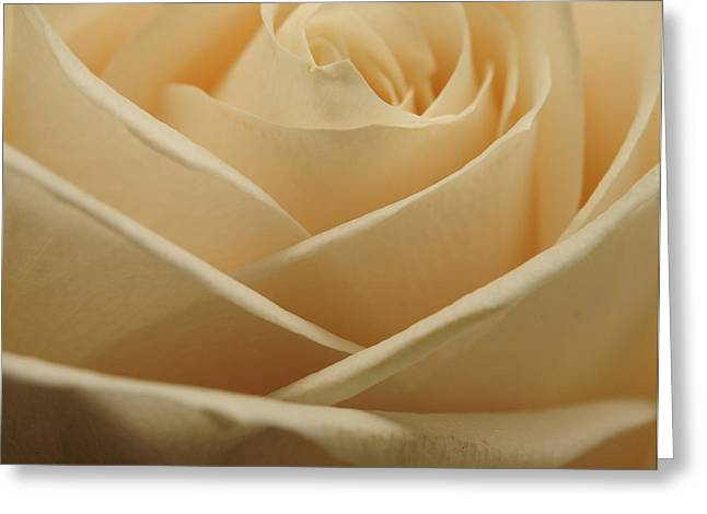 Photographs Of Flowers Greeting Cards - Patterns in Rose Petals  Off White Greeting Card by Laura Mountainspring