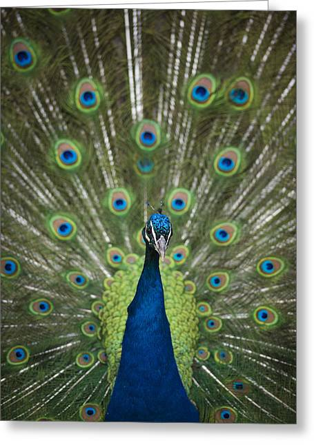 Fowl. Wildlife Greeting Cards - Pea Fowl Greeting Card by Noah Bryant