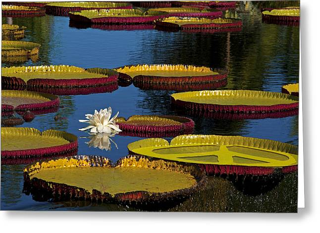 Water Lilly Digital Greeting Cards - Peace Lilly Greeting Card by Lou  Novick