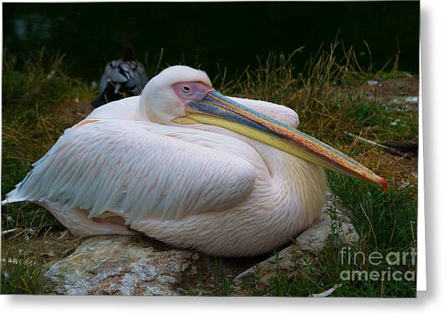 Talking Fish Greeting Cards - Peaceful Pelican Greeting Card by F Helm