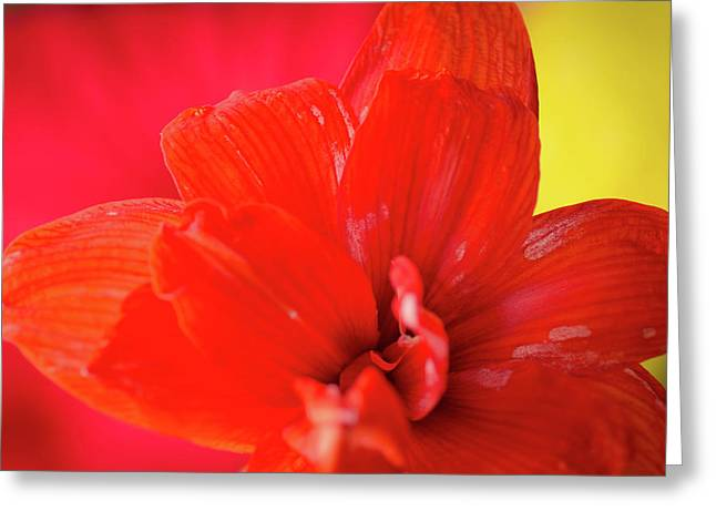 PEACH MELBA red amaryllis flower on raspberry ripple pink and yellow background Greeting Card by Andy Smy