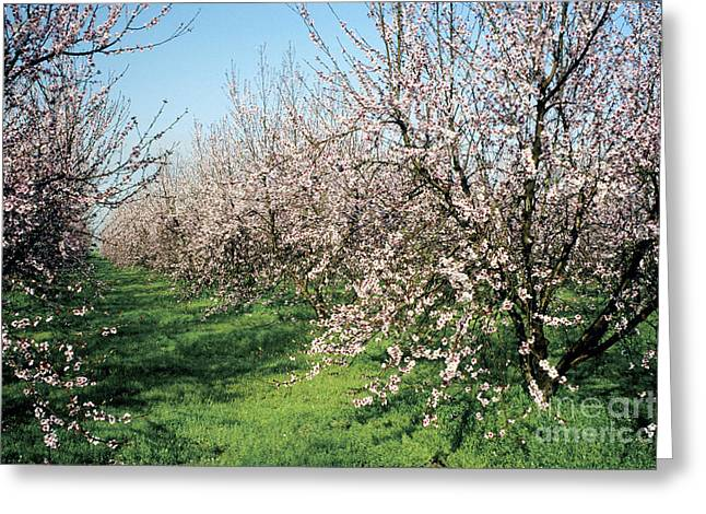 Flowers In California Greeting Cards - Peach Orchard Flowering Greeting Card by Inga Spence