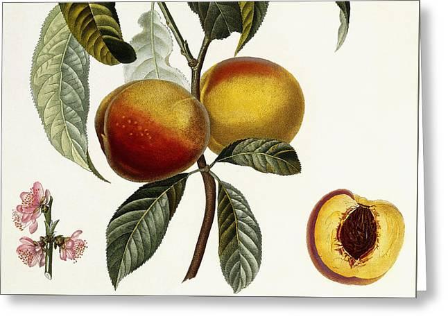 Peach Greeting Card by Pierre Antoine Poiteau
