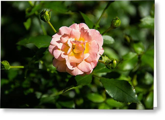 Leaves Greeting Cards - Peach Rose Greeting Card by Brian Manfra